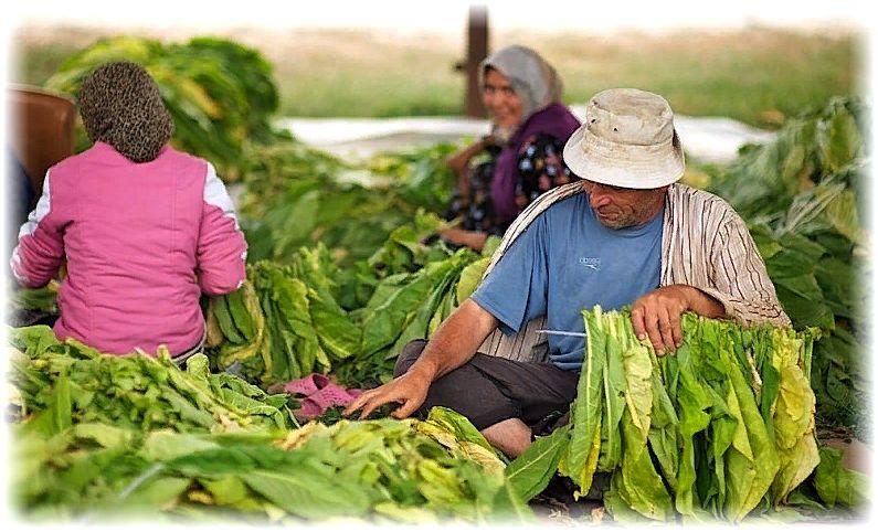 нанизывание табачных листьев перед сушкой
