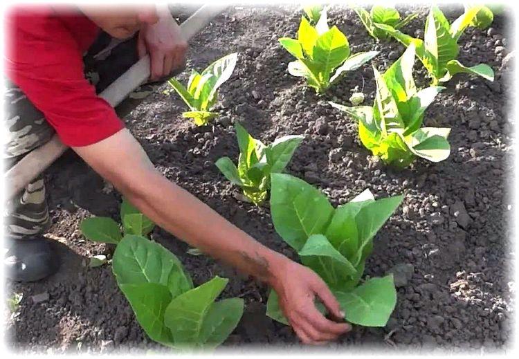 подготовка почвы для посадки табака