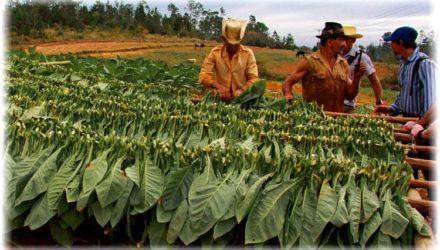 Сбор урожая и сушка табака — как правильно собрать и высушить табачные листья