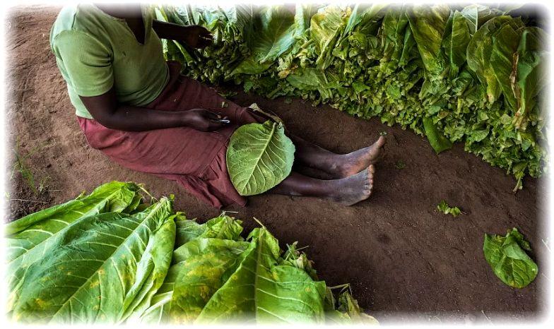 сбор табачных листьев