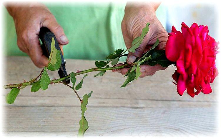 делаем черенки из букета роз