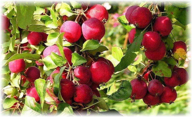 урожай яблок ранеток