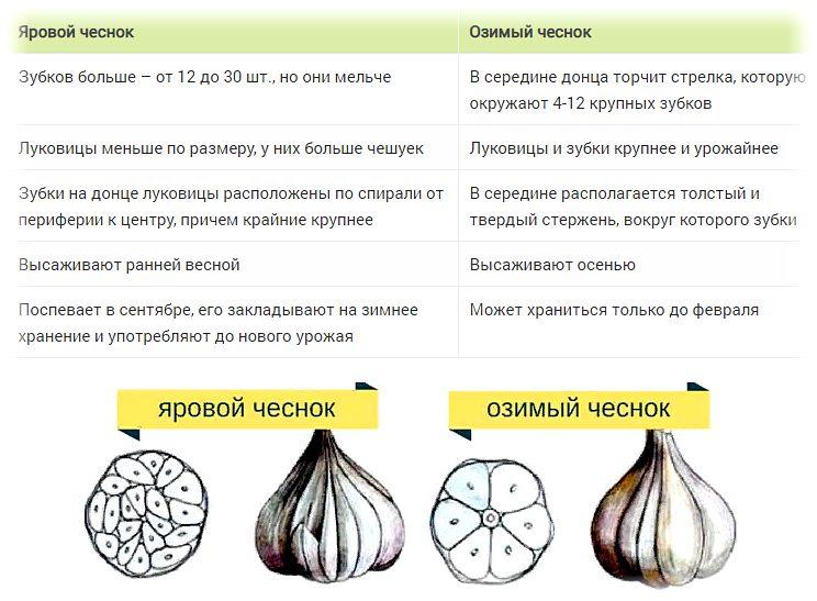 выращивание чеснока особенности ярового и озимого чеснока