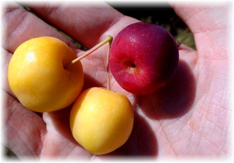 яблочки ранетки