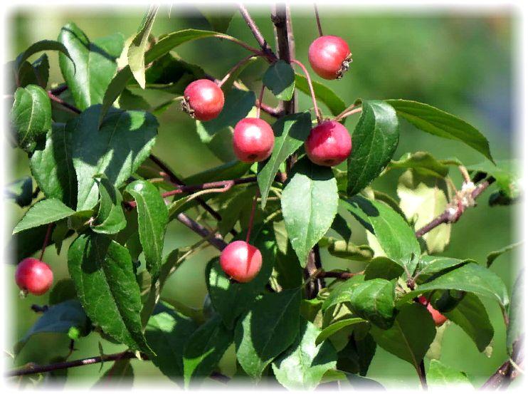 яблоки ранетки на дереве