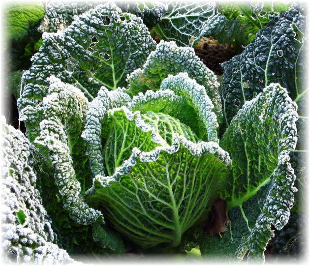 как вырастить савойскую капусту на даче