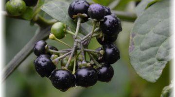 Паслен черный — фото, польза и вред, применение и свойства в медицине, кулинарии