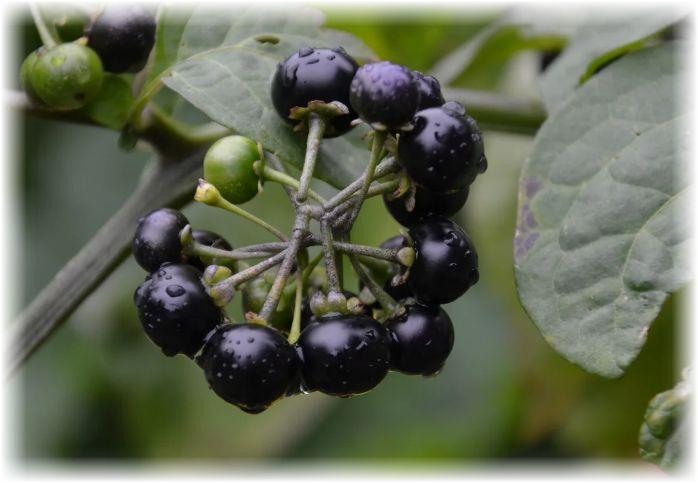 растение черный паслен