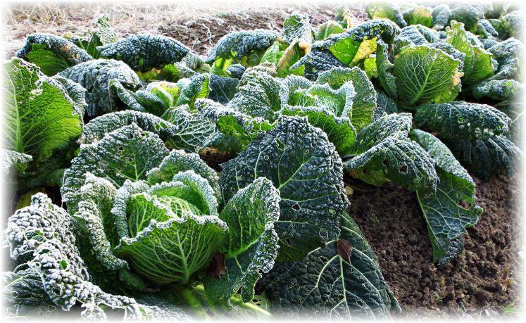выращивание савойской капусты и уход