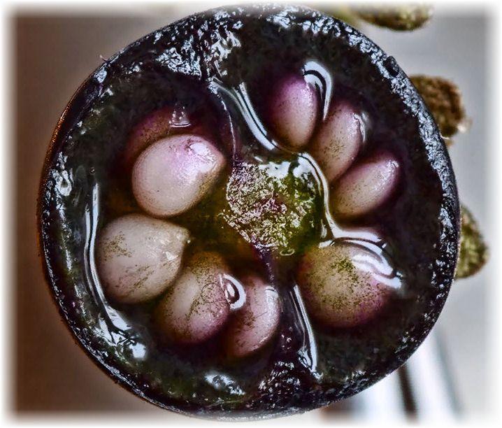 ягода паслена черного при разрезе