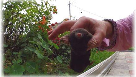 Эффективная борьба с кротами на садовом дачном участке