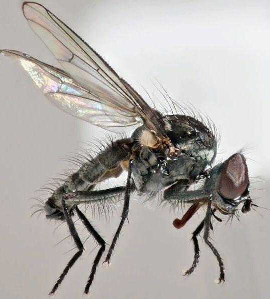 свекловичная муха - вредители овощных культур