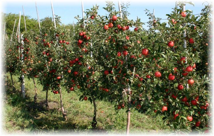 выращивание яблок на даче