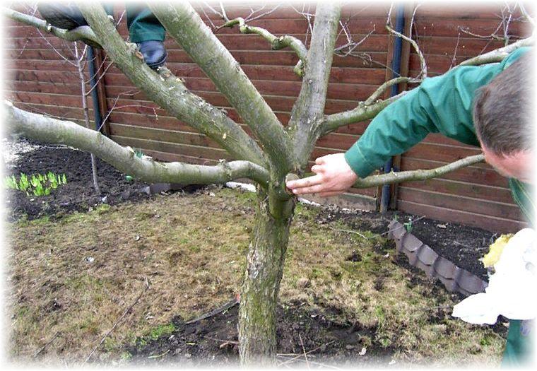 яблони - выращивание и уход