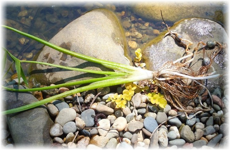 корневища стрелолиста с клубнями