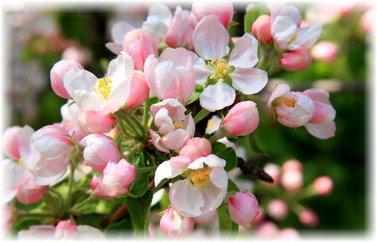 применение в медицине цветов, листьев яблони