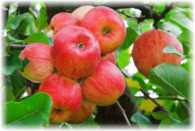 яблоня и ее плоды - описание, фото