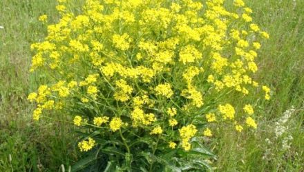 Свербига восточная — описание, фото растения, лекарственные свойства и вред, рецепты