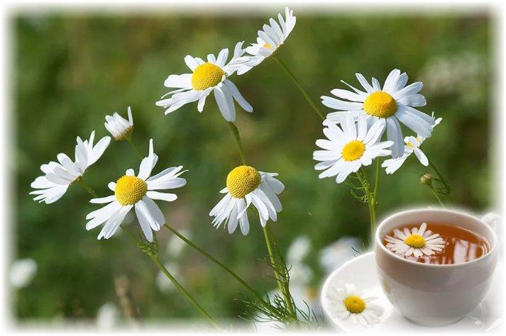 Чай из ромашки - как приготовить Чай из высушенных цветков ромашки аптечной с медом или сахаром дают пить всем, у кого бессонница, переутомление либо возбудимость. Чайную ложку сухого порошка из измельченных цветков заливают стаканом крутого кипятка и настаивают 10-15 мин. Пьют ромашковый чай с медом 2-3 раза в день.