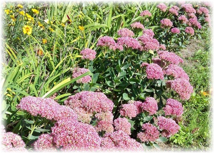 как растет очиток пурпурный