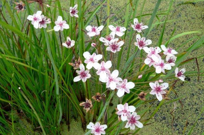 описание травы сусак зонтичный, фото