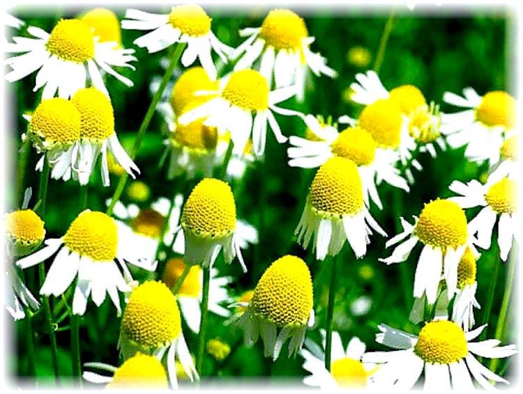 ромашка аптечная - описание растения. фот