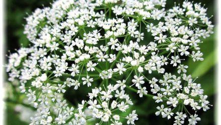Сныть обыкновенная — описание растения, фото, полезные свойства, применение в рецептах кулинарии и народной медицины