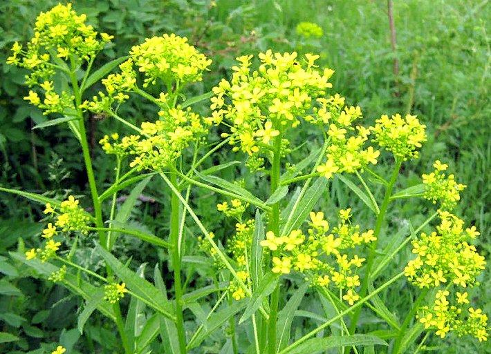 свербига восточная - описание растения, фото