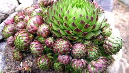 Растение молодило — описание, фото, применение в рецептах