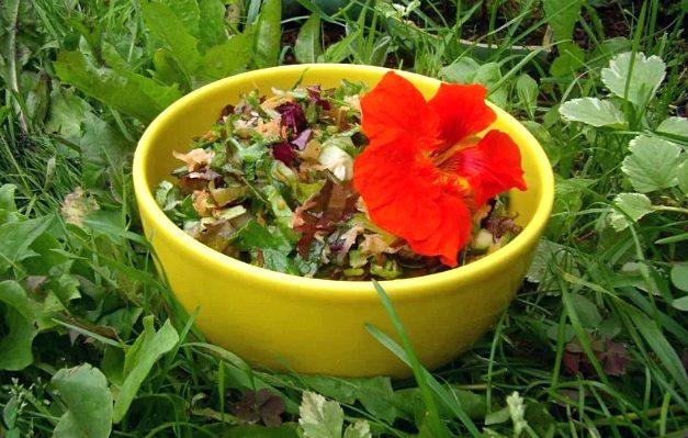 настурция - лечебное растение