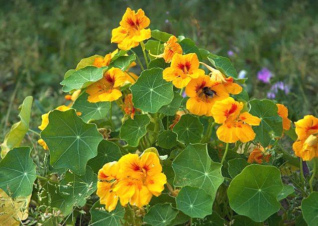 описание растения настурции