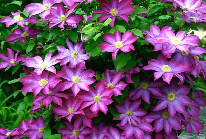 клематисы - декоративные растения для сада