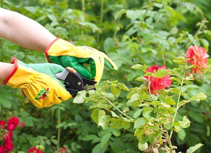 правильный уход за розами в саду