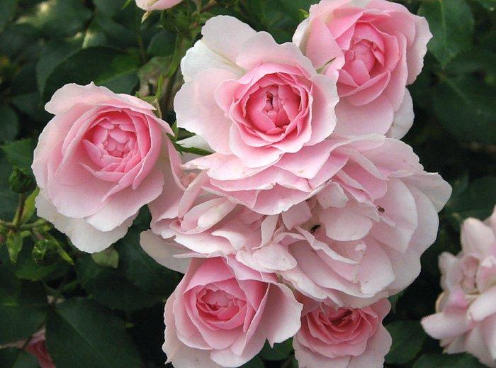 роза сорт Боника 82