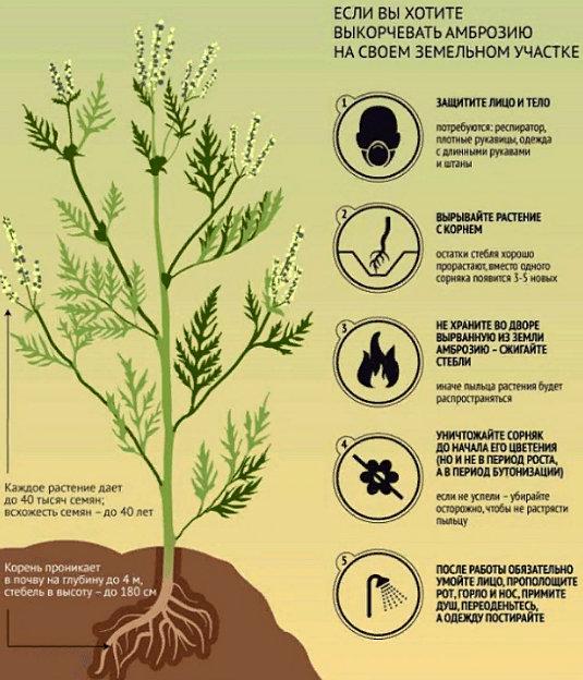 как бороться с амброзией в огороде