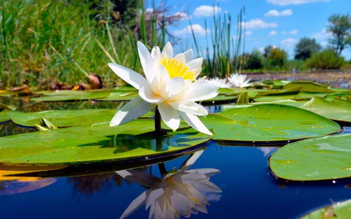 кувшинка белая - водяная лилия, одолень-трава