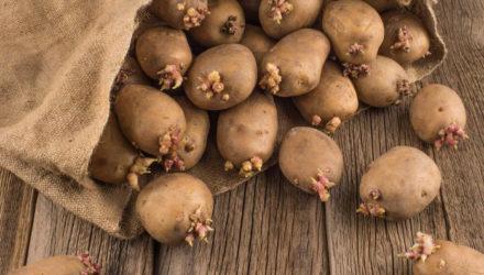 Легкое выращивание картофеля под соломой и из глазков пошагово