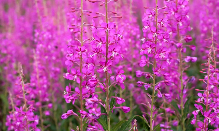 кипрей узколистный цветет