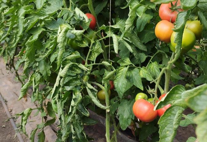 помидоры - как выращивать