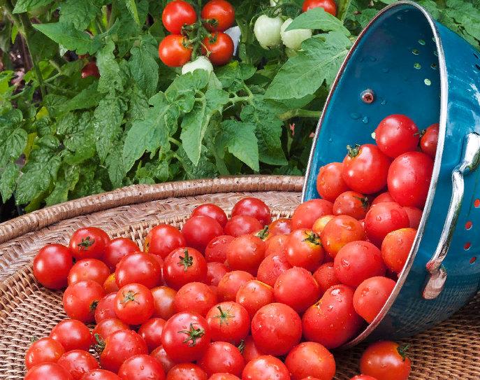 помидоры - состав, калорийность, свойства