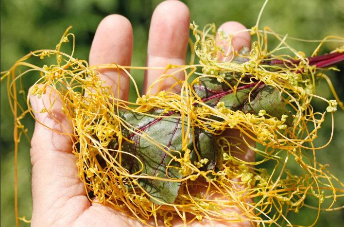 повилика- растение паразит сорняк