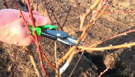 Выращивание персика — подготовка к зиме, уход и обрезка весной