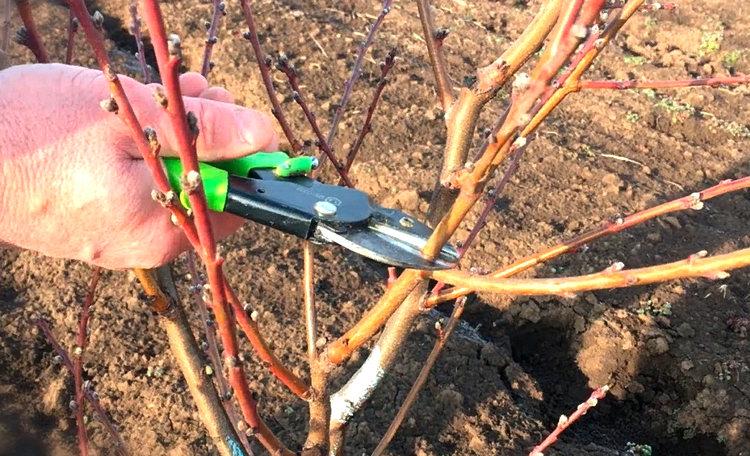 обрезка персика весной на участке