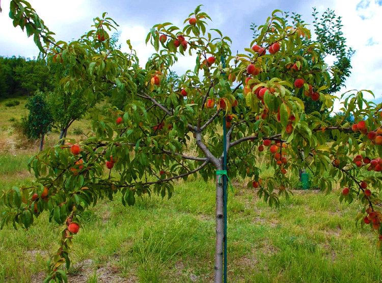 персик - выращивание и уход