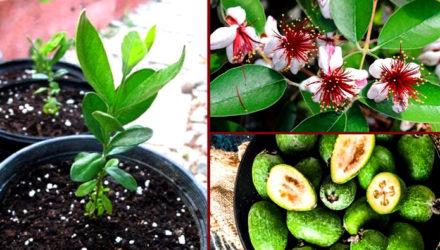 Выращивание Фейхоа — фото, посадка в открытый грунт и дома, уход, размножение