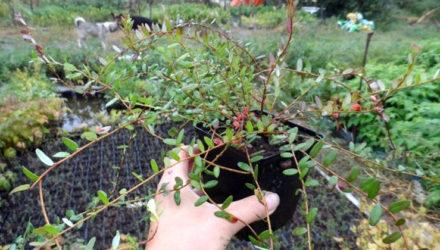 Выращивание клюквы на садовом участке — посадка черенков и уход