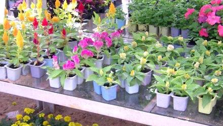 Выращивание рассады цветов и высадка их в открытый грунт