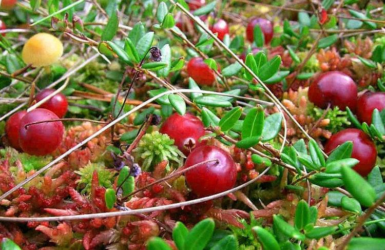 выращивание клюквы и уход