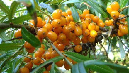 Облепиха — как правильно сажать и выращивать, уход, неколючие сорта