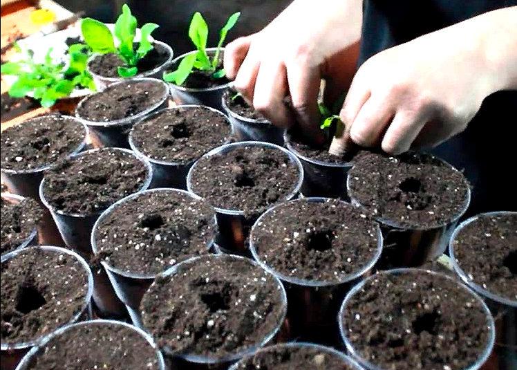 высаживание цветочной рассады